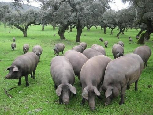 Những chú heo Iberica đang kiếm ăn bên những cây sồi