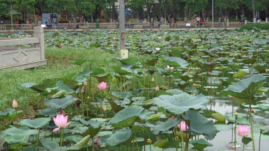 Hình ảnh đầm sen tuyệt đẹp công viên Đầm Sen sài Gòn